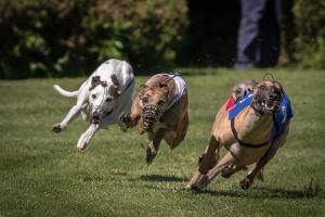 Hunderennen 500-11