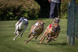 Hunderennen 500-12