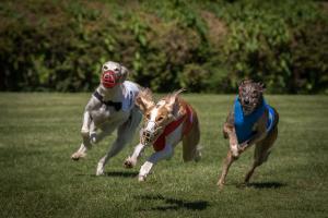 Hunderennen 500-15