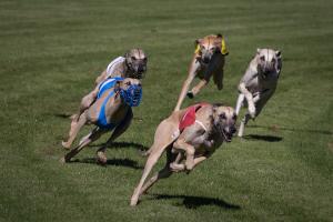 Hunderennen 500-2