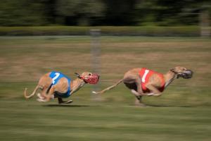 Hunderennen 500-36
