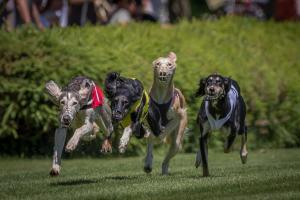 Hunderennen 500-42