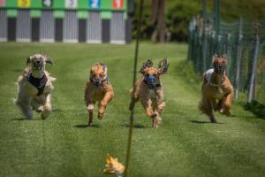 Hunderennen 500-50