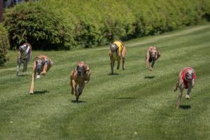 Hunderennen 500-37