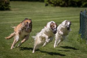 Hunderennen 500-45