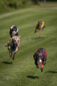 Hunderennen 500-53